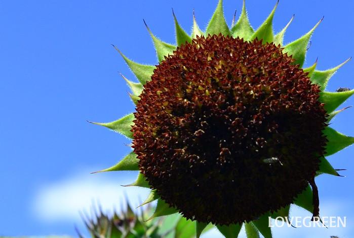 ひまわり(向日葵)の、いわゆる花びらの部分はその1枚1枚が独立した花(舌状花)でおしべはありません。また黒っぽい中心部分もひとつひとつが花(筒状花)で、こちらはおしべとめしべの両方を持つため、この部分にタネができます。
