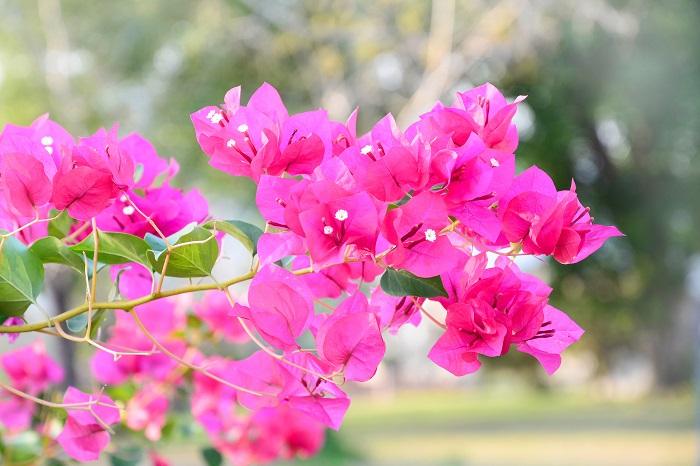 暑い夏場に長期間開花するオシロイバナ科の常緑のつる性低木のブーゲンビリア。私たちが花と思っている色づいた部分は「苞(ホウ)」と呼ばれる葉っぱで、花は中心にある白い筒状の部分です。とてもきれいな葉っぱと花ですが、とげがある植物なので扱いには注意が必要です。熱帯が原産なので日本の寒さには耐えられないため冬場は室内で管理しますが、一部の耐寒性のあるブーゲンビリアの品種は暖地であれば地植えができるものもあります。