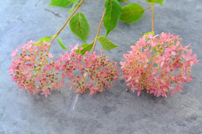 花屋さんで売っている切り花のアナベルは、まだグリーン色のアナベルが主流ですが、最近ピンクアナベルも少しずつ出回り始めています。扱い方はアナベルとまったく同じです。アナベルピンクもアナベルと同様、最終的に秋色ピンクになるので、ドライフラワーとしても楽しむことができます。