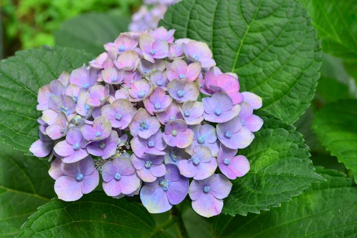旧枝咲きのアジサイ類は、花が終わる7月の半ばくらいまでには剪定を済ませるようにします。</strong>上記のアジサイは、今年伸びた枝の下に位置する、昨年伸びた枝の付け根に花芽をつけるという仕組みで花が開花します。アジサイは終った花が自然に散ることがないので、花を取り去る作業が必要です。特に鉢植えのアジサイは、少ない土の中で生きているので、終わった花をいつまでもつけておくより、早めに切って株をすっきりと風通しよくした方が、次の年の花のためにエネルギーがいきやすくなります。