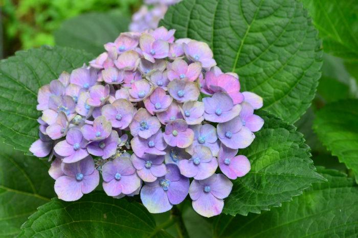 6月の花と言えばアジサイ。アジサイ科の落葉低木のアジサイは、もともとはガクアジサイが日本原産の植物でしたが、西洋にわたり西洋アジサイとして人気が出て日本に逆輸入されてきました。最近は西洋アジサイ、ガクアジサイともに、品種、形、色の種類も豊富にあり、毎年新品種がつくりだされています。アジサイの開花時期である6月は梅雨の最中で雨や曇天の日が多いですが、アジサイの花は晴天より曇りや雨の日の光にとてもあう花色です。美しく咲くアジサイの群生を見ると、雨もまたいいかな・・・そう感じさせてくれる初夏を代表する花木です。