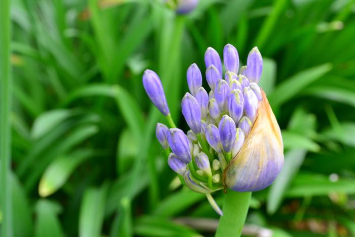 アガパンサスの開花直前は、咲いた時のサイズよりはるかに小さなかわいらしいサイズ。開花すると急に大きくなる変化もおもしろい植物です。