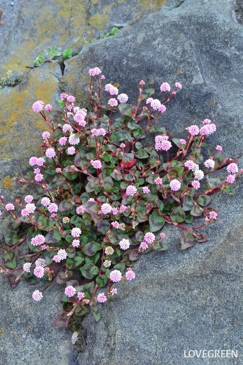 ヒメツルソバはタデ科多年草。ピンクや白の花が金平糖のように丸くて愛らしく、匍匐性で地面を覆うように成長するのでグランドカバーにも最適な植物です。日当たりが良い所を好みますが半日陰でも育ちます。霜があたる地域では冬に地上部は枯れて無くなりますが根が凍るほどの寒さでなければ春にまた芽吹いてきます。コンクリートの割れ目からも発芽するほどの繁殖力なので野生化して至る所に自生しています。一度植えてしまえば、暑さ、寒さ、乾燥に強く放任で大丈夫な草花です。
