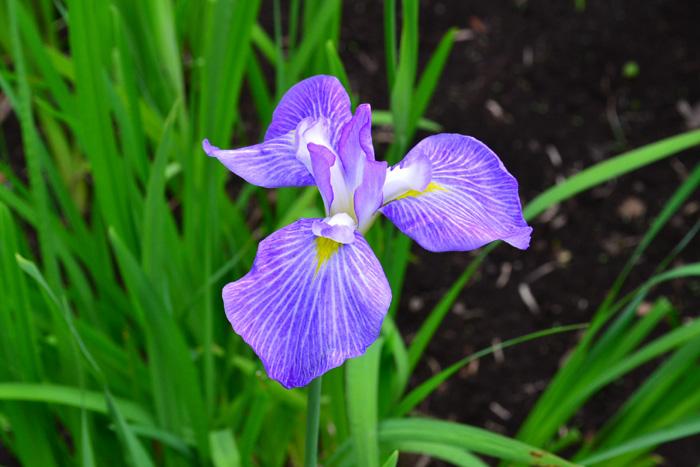 ハナショウブ 6月、7月、8月に咲く夏の花31選