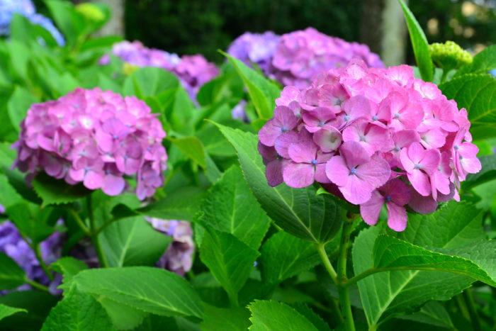 アジサイ類は、種類によって、花の付き方が大きく分けて二通りに分けられます。