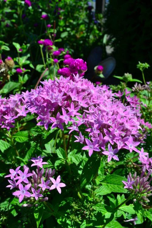 ペンタスは、熱帯アフリカ、アラビア半島原産の常緑性の多年草です。星型の花は直径1センチに満たないような小輪ですが、傘状に30~40輪咲くのでよく目立ち華やかです。春から秋まで長期間開花し、暑さに強く、夏の暑さにも強く途切れることなく花を咲かせるので、花壇などにもよく利用される草花です。ペンタスは本来は多年草ですが、日本だと一年草扱いされることが多い草花です。