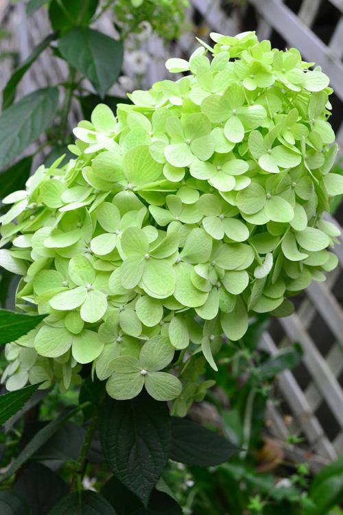 ノリウツギ 6月、7月、8月に咲く夏の花31選
