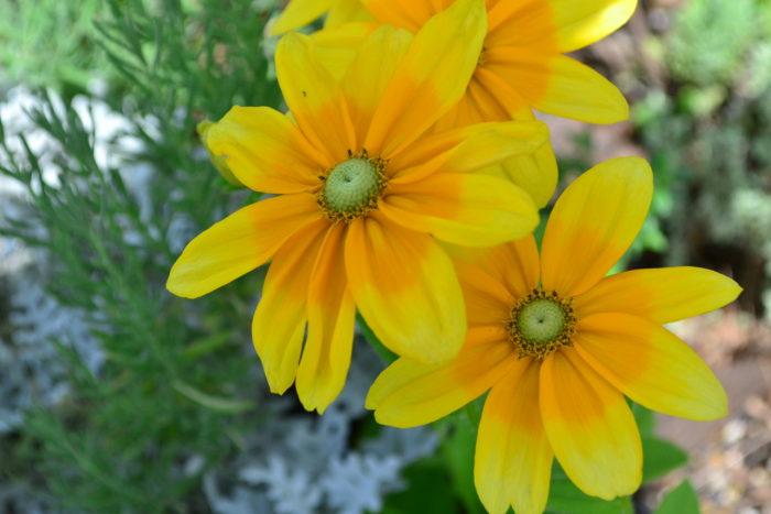 ルドベキア 6月、7月、8月に咲く夏の花31選