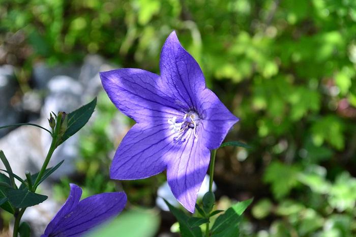 桔梗(キキョウ)  秋の七草にも含まれる桔梗(キキョウ)はキキョウ科の多年草。日本でも古くから親しまれている植物です。