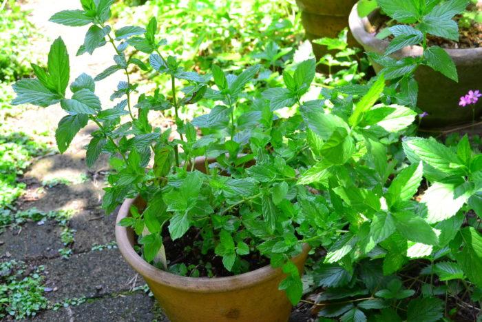 グランドカバーとしてよくおすすめをされているミント。地下茎とランナー両方で増えるタイプなので、環境に合うとあっという間に広がるハーブです。そのため、おすすめされる反面、爆殖植物と表現されることもあります。  いくらでも増えても(広がっても)まったく構わない、数年間は足を踏み入れないスペースの雑草対策なら、いわゆる「爆殖植物」を選ぶとよいと思うのですが、限られたスペース以上には増えてほしくないという場合は、整理しやすい植物を選ぶのが大切です。  同じ植物でも、「おすすめ」という方と、「絶対にやめた方がいい。増えすぎるから」という方が存在するのは、目的や土地の広さが違うから。それぞれのスペースが違うので、数年後にどうなるか?をイメージしながら、自分に合ったグランドカバーを選ぶのはとても大切です。  限られたスペースのグランドカバーなら、根が深く張るタイプ、地下茎で増えるタイプはおすすめできません。将来、広がりすぎたら整理することも考えた、根が浅く張るタイプの草花を選ぶとよいでしょう。