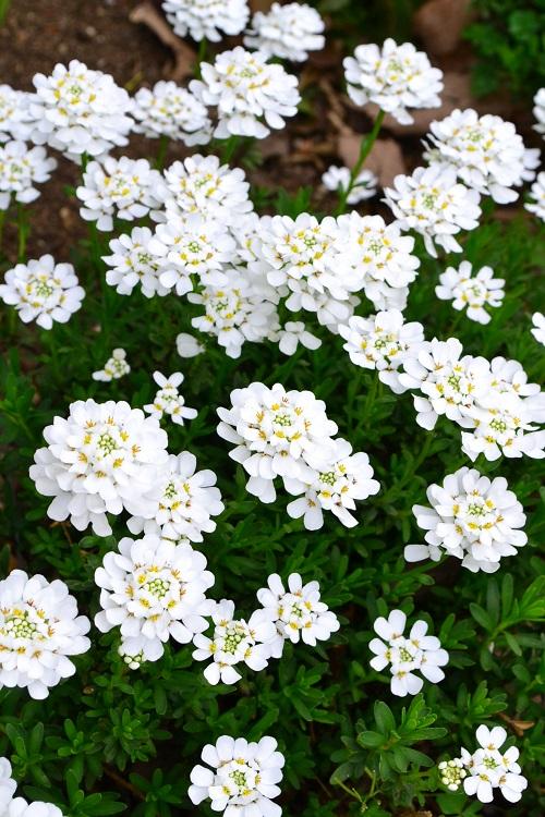 イベリス・センペルヴィレンスは、アブラナ科の多年草。春に株一面に白い小花をびっしりと咲かせます。耐寒性、耐暑性もあり、花後に切り戻しをすれば、あとは放任で育つ丈夫な多年草です。日当たりを好みます。