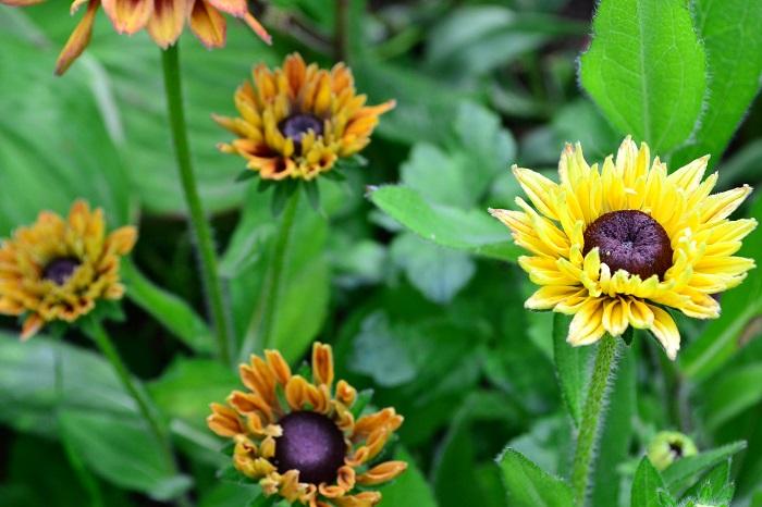 丈夫で放任でもよく育つルドベキア。最近は写真のようなシックな色みの新種も登場しています。また、花の咲き方も一重の他、八重咲など多様になってきました。