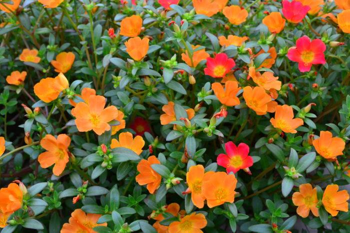 ポーチュラカ 6月、7月、8月に咲く夏の花31選
