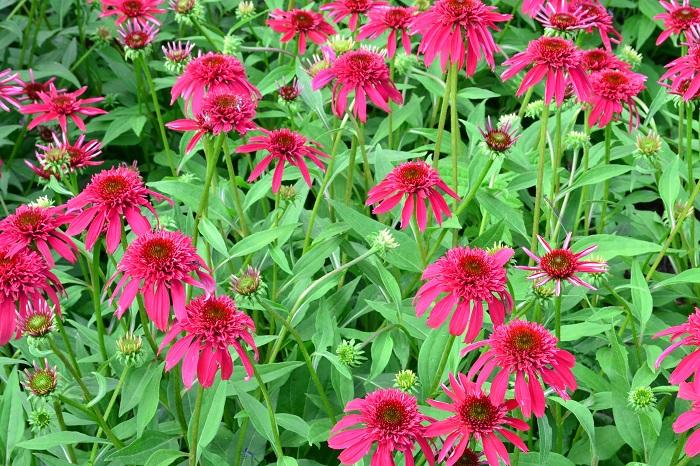 エキナセアはもともとハーブですが、最近は園芸種のエキナセアの品種がとても増えました。色合いが複色カラーのものが多くて、色合いを選ぶのも楽しい宿根草です。