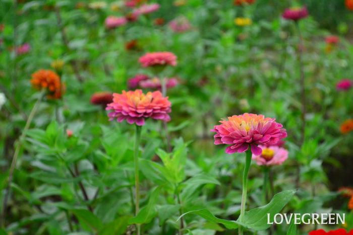 ジニア 6月、7月、8月に咲く夏の花31選