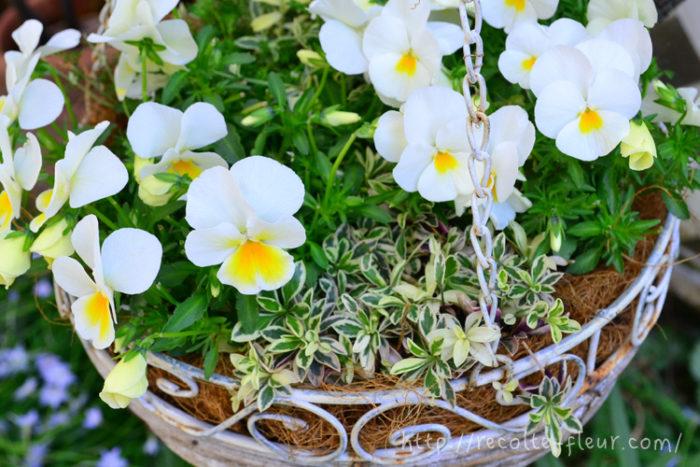 ハンギングバスケットの縁取りに使った斑入りアラビス。這うタイプの植物は、寄せ植えでは鉢と草花をひとつに見せる素敵な役割をしてくれます。
