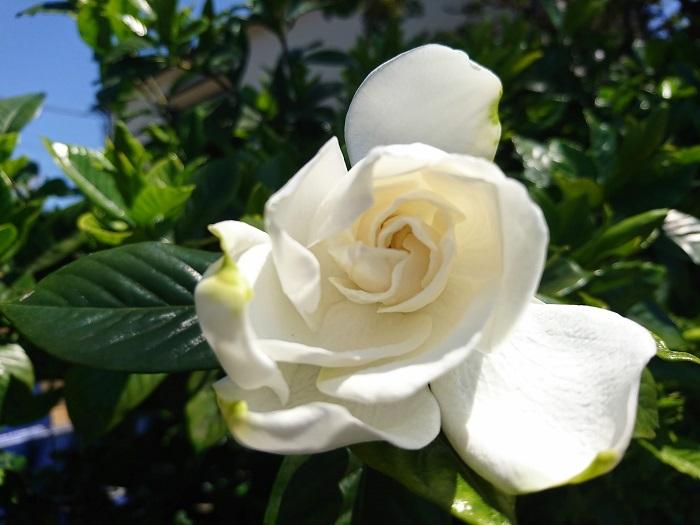 学名:Gardenia jasminoides  科名:アカネ科  分類:常緑低木  初夏になると甘い香りを放つ常緑低木。ガラスを思わせるような質感の繊細な花びらが特徴的です。クチナシという和名は熟しても弾けない果実の形状にあります。