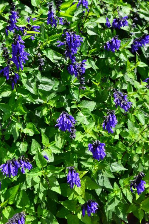 宿根草のサルビア、セージは、たくさんの品種があります。サルビア、セージ類はおおむね開花期間が長いですが、品種によっては晩秋咲きのものもあるので、念のためプランツタグなどで開花期間を調べましょう。