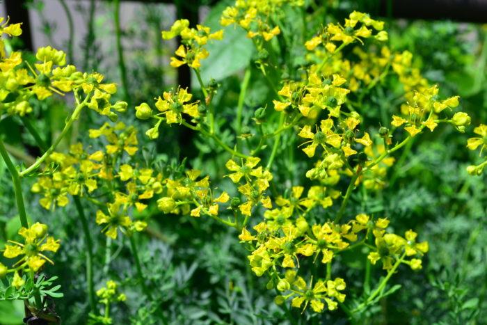 ルーはミカン科の常緑多年草のハーブ。香りが独特で好き嫌いがはっきりと分かれる香りですが、6月~7月に黄色いかわいい花が開花します。ルーは草丈が1m近くなるので地植え向きのハーブです。また、ルーとバジルは相性が悪いので、近くに植えないことをおすすめします。