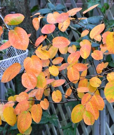 落葉樹なので冬場は葉を落とします。ジューンベリーは紅葉も美しい果樹です。