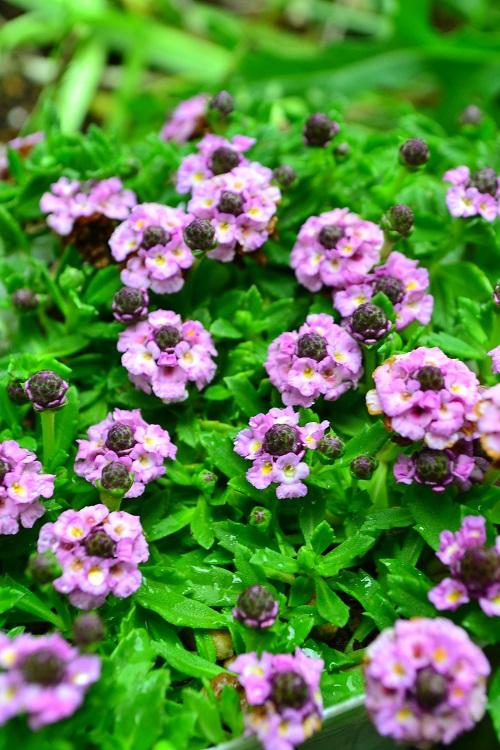 ヒメイワダレソウは、多少の踏み付けにも耐え、場所もさほど選ばず育ちます。グランドカバーとして、よくおすすめされる草花ですが、ちょっと油断すると爆発的に増えることもあります。