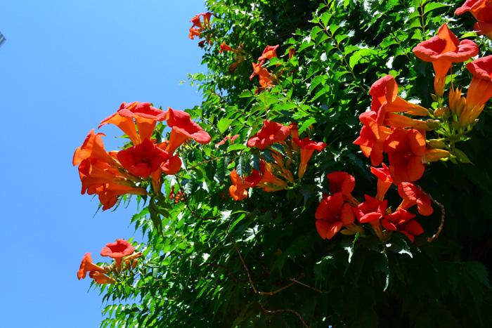 ノウゼンカズラ 6月、7月、8月に咲く夏の花31選
