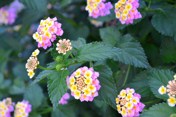 ランタナ 6月、7月、8月に咲く夏の花31選