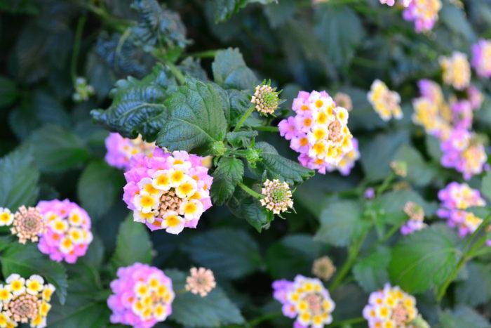 ランタナはクマツヅラ科の常緑低木。暖かい地域では冬越しも可能で低木になっていきます。ランタナは、次々とわき芽を増やし、横に広がって生長していきます。暑さに強く真夏も休むことなく花が開花し、咲き進むたびに花色が一色だけではなく、グラデーションのような花色が楽しめます。とてもたくさんの花が楽しめる反面、ランタナは「要注意外来生物リスト」(環境省)に登録されるほど、他の植物を一掃してしまうくらい強い生命力を持っています。花が終わった後の花がら摘みをまめにすることが大切です。