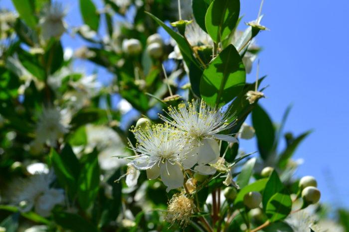 マートル(ギンバイカ)6月、7月、8月に咲く夏の花31選