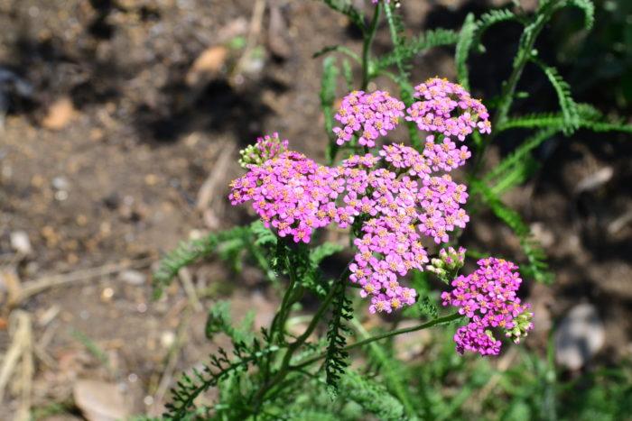 ヤロウ(セイヨウノコギリソウ)6月、7月、8月に咲く夏の花31選
