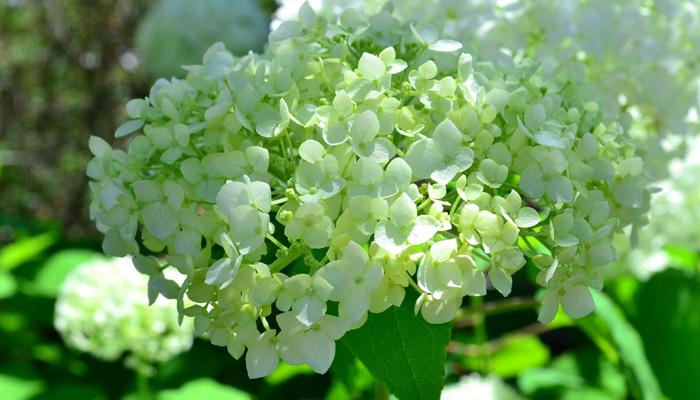 こちらはアナベル。アナベルはユキノシタ科の落葉低木。6月頃の咲き始めはライムグリーンから白い花として開花し、秋にかけて花色が秋色グリーンへと変化していく過程も素敵です。初夏の雰囲気とぴったりで、ガーデニングで人気の花木です。