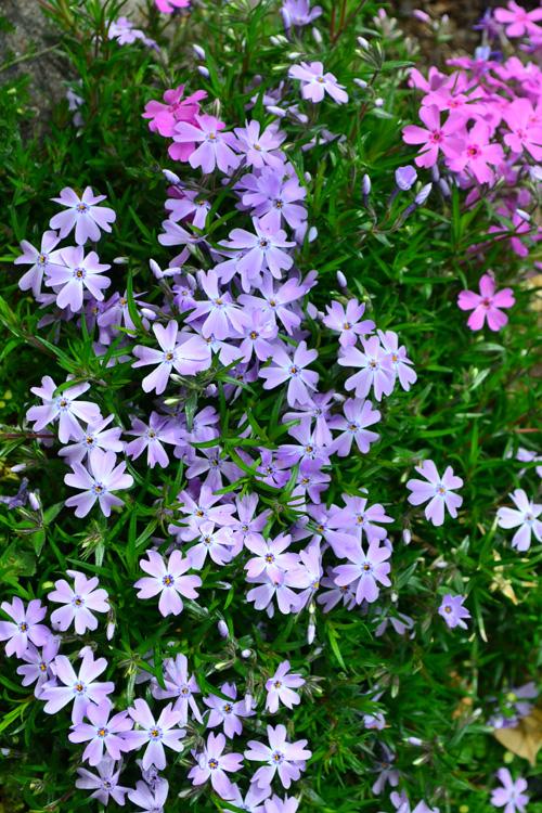 芝桜の色は、パステル系の色を中心に、種類がとても豊富です。ピンク系濃淡、紫色系濃淡、白、複色など色合いも様々なので、同じ時期に咲く近くの草花とカラーコーディネートすると素敵なカラーハーモニーが演出できます。