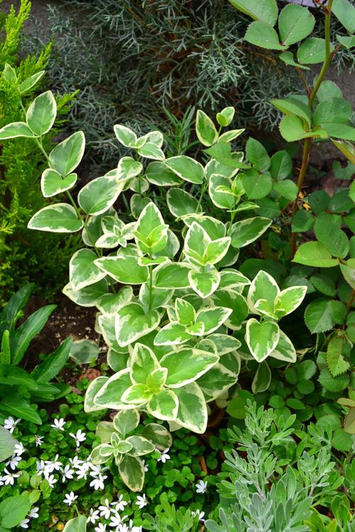 ツルニチニチソウは、常緑半低木の植物で、株元から多数の茎をのばしてツル状になり、3月~5月頃に淡い紫色の花が開花します。傾斜地や半日陰地、常緑樹の足元などのグランドカバーに使われることが多く、性質は非常に強健です。種類はグリーンと、斑入りがあります。