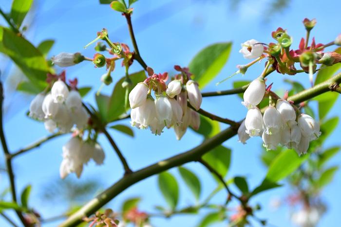 ブルーベリーの花は4月頃、釣鐘状の白、又はピンク色の花を咲かせます。