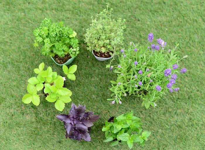 今回の寄せ植えのテーマは「数種類のハーブを楽しめる寄せ植え」。  さあ、どんな種類のハーブを使って寄せ植えを作りましょう?  実際に使いたいハーブだけを集めて植えるのも良いのですが、背の高いもの低いもの、上に伸びるもの這うように伸びるもの、色や質感の違いのバランスを考えて選ぶと、実用性プラス見た目も重視したハーブの寄せ植えを作ることができます。  小さなスペースしかない場所でも、寄せ植えにすれば数種類のハーブを育てることができます。ハーブを暮らしの中に取り入れる第一歩として、ハーブの寄せ植えをおすすめします。