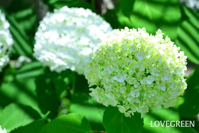 アナベル 6月、7月、8月に咲く夏の花31選