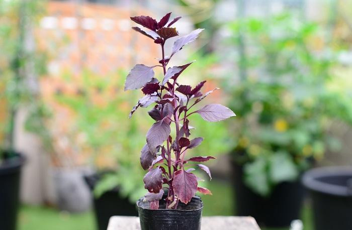 育て方のコツ 日なたと水はけのよい用土を好みます。先端の芽を摘み取ってわき芽を伸ばす「摘芯」を繰り返すと、枝数が増えて収量が増します。挿し木でも簡単にふやすことができます。7~9月頃にピンク色のかわいい花が咲きます。花が咲くと風味が落ちるので、花を使わない場合は花穂は早めに切り取りましょう。  使い方 美しい赤紫色をいかしてサラダなどの料理に使います。ビネガーやオイル、リキュールの色付け、香り付けにも使うことができます。  この苗を選んだ理由 モヒートミントと同じように、収穫しても再びぐんぐん上に伸びるタイプの苗をもう一つ取り入れたいと思い、料理に使いやすいバジルを選びました。 その際、寄せ植えのアクセントとなるように、赤紫色の葉のダークオパールを選びました。  バジルも種類が豊富で花と葉の香りが異なるので、使う用途や寄せ植えのバランスを見て、お好みのバジルを選んでみてくださいね。