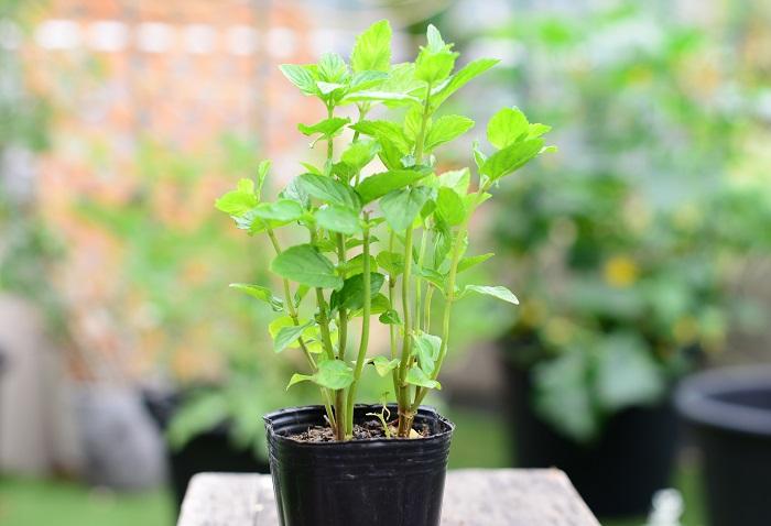 育て方のコツ 日なたから半日陰、水はけのよい用土を好みます。収穫をかねて切り戻しをしながら育てます。切った茎を水にさしておくと根が出て簡単にふやせます。8~9月に白い花が咲きます。 ミントは植えると地下茎でどんどん広がります。広がらせたくない場合は、鉢に植えた状態で植えると広がりにくいのでおすすめです。  使い方 モヒート、ハーブティー、料理、ポプリ、ハーブバスなどに使えます。 ミントも種類が豊富です。それぞれ草姿や色も異なりますし、含まれる成分も種によって違い、香りも異なります。  この苗を選んだ理由 すっきりした味のモヒートやハーブティーを飲みたい!とイメージしてモヒートミントを選びました。 すくっと上に伸びて立つ姿も、ラベンダーの手前に植えてちょこちょこ収穫してもすぐにまた元気に伸びるイメージで選びました。  使う用途や寄せ植えのバランスを見て、お好みのミントを選んだら楽しいですね。