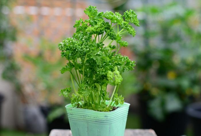 育て方のコツ 日なたから半日陰、水はけのよい用土を好みます。夏の高温と乾燥で葉色が悪くなります。夏の直射日光は避けて、適度に日が当たる風通しのよい場所で管理しましょう。  使い方 料理に使えます。茎はブーケガルニに最適です。  この苗を選んだ理由 背の高いハーブの手前に、それほど背が高くならずにふんわりと育つ苗を植えたいと思い、料理やスムージーにも使いやすいパセリを選びました。 パセリには今回使った葉が縮れるタイプ(モスカールドパセリ)と、葉が平たいタイプ(イタリアンパセリ)がありますが、ふんわりした草姿を今回の組み合わせの中でいかせると思い、葉が縮れているタイプを選びました。