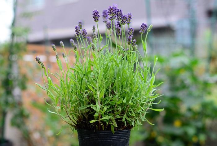育て方のコツ 日なたと水はけのよい用土を好みます。高温多湿が苦手なので、夏は風通しよく管理しましょう。水や肥料のやりすぎに注意し、花後は早めに花茎を切り、込み入った部分をすいて風通しをよくするのも効果的です。挿し木でふやせます。 今回は四季咲きのイングリッシュラベンダーを使いました。花期は5~9月頃です。  使い方 ハーブティーや摘みたてを花束アレンジなどに使えます。風通しのよい場所に吊り下げておくと簡単にドライになります。 ラベンダーは非常に種類が多く、高い香りを楽しむのに向く種、丈夫で花壇での鑑賞に向く種など様々で、耐寒性や耐暑性も異なります。料理やハーブティーには、イングリッシュラベンダー(コモンラベンダー)を主に利用します。  この苗を選んだ理由 ラベンダーの中でも、花の美しさと香りの良さを兼ね備えているイングリッシュラベンダー(コモンラベンダー)を選びました。 寄せ植えの一番後ろに、「背の高い背景になるもの」としてもぴったりと考えました。