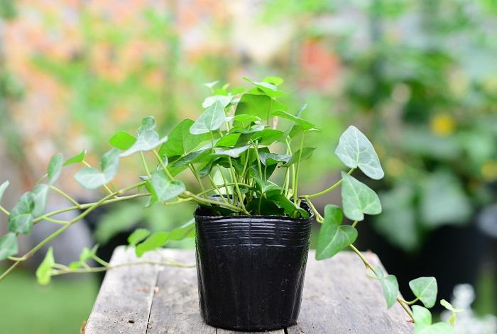 この苗を選んだ理由 もう一つ、鳥かごから外に伸びやかに育つ植物を使いたいと考えた時に、ハート型のアイビーを選びました。アイビーは株分けして数ヵ所に植えていきます。  育て方のコツ 本来は日なたを好みますが、耐陰性が強く室内でも屋外でも育てることができるとても丈夫な植物です。土が乾いたらたっぷりお水をあげましょう。挿し芽で繁殖します。