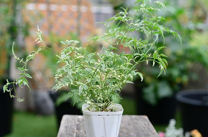 この苗を選んだ理由  鳥かごの外に伸びやかに育つものとして、細やかな葉が美しい斑入りのハゴロモジャスミンを選びました。3~5月頃に甘い香りのする白い花が咲きます。上方向に伸びるつる性です。  育て方のコツ 日なたと水はけのよい用土を好みます。耐寒性はやや弱いので、霜にあたらないようにして冬越ししましょう。挿し木でふやせます。 花を楽しむ場合は、剪定は花後から夏までに行います。秋以降は花芽をつける枝を落とすことになるため、なるべく剪定をしません。