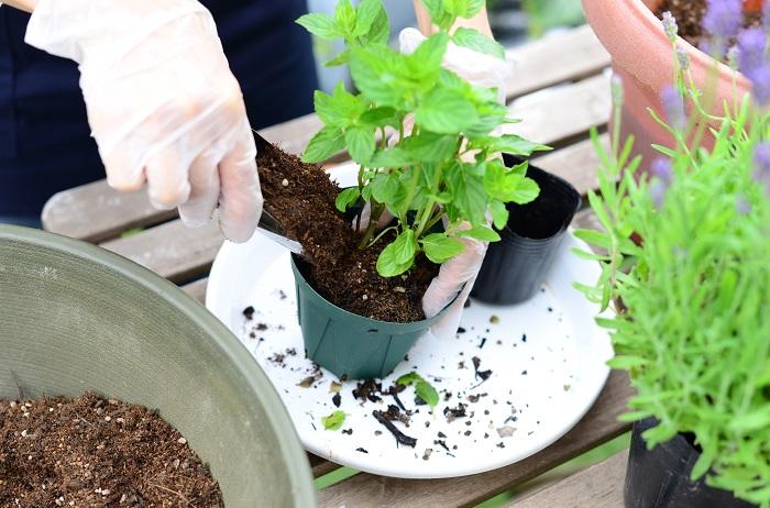 寄せ植えを作る前に、まず、モヒートミントをビニールポットよりひと回り大きい鉢に植え替えます。 今回は、プラスチック製のスリット鉢を準備しました。  株元の黄色い葉やごみを取り除いてから植え替えましょう。土をたっぷり入れてあげます。