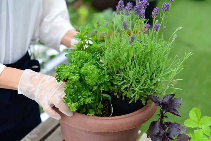 苗を、ポットのまま鉢の中に置いて配置を考えます。