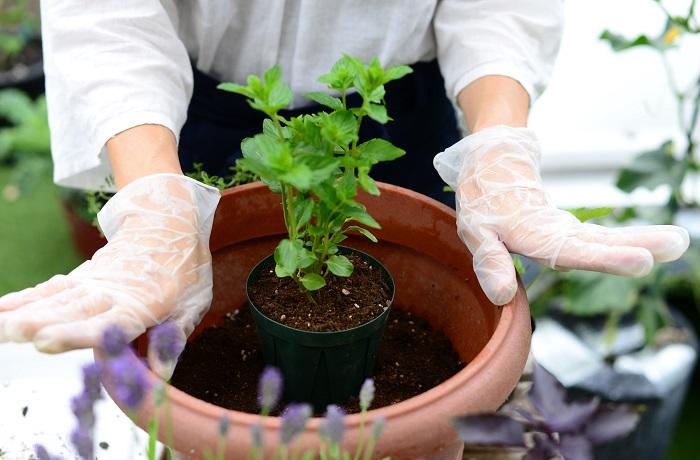 どうしてモヒートミントだけ植え替えるのか? それは、ミントは地下茎でどんどん増えていろんなところから顔を出し、他のハーブよりも強くはびこってしまうからです。寄せ植えを作る時には、ミントは鉢のまま植えた方が寄せ植え全体のバランスを美しく管理することができます。  モヒートミント以外の苗も、枯れた葉や茎、株元の黄色い葉やごみを取り除いておきましょう。