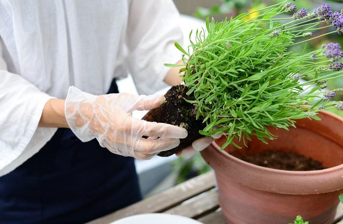 配置が決まったら、後ろ側に植えるハーブから植えていきます。  株元の黄色い葉やごみを取ります。