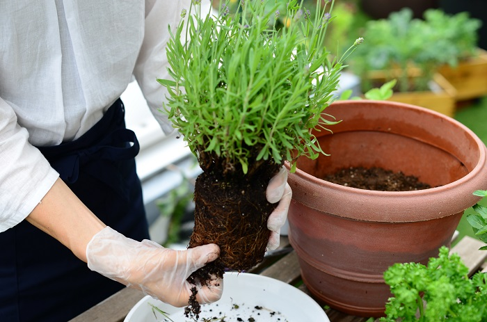 このようにすることで、根が活性化されて生長がよくなります。 (真夏や真冬には、根をいじりすぎると逆に植物にダメージをあたえてしまうのでやめましょう。)