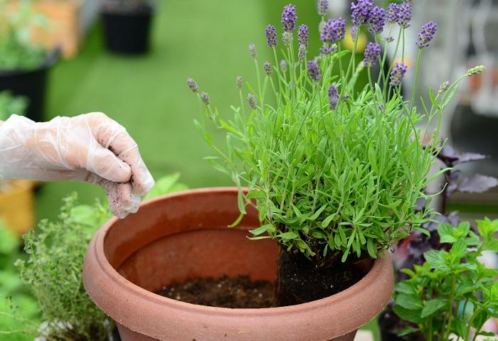 ラベンダーをいちばん後ろに植えます。