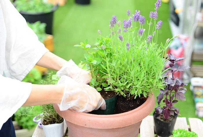 ラベンダーの手前に、モヒートミントを鉢ごと植えます。