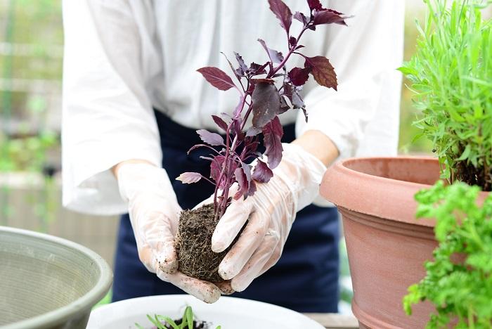 次に、バジルの苗の株元をきれいにして植えていきます。